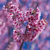 Cheery Blossome Sakura — Stock Photo