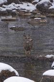 Wet doe in water — Stock Photo