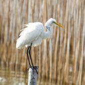 White Stork bird on the bamboo — Stock Photo