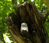 Owl nests inside a tree — Stock Photo