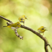 Cute Oriental White Eye birds — Stockfoto