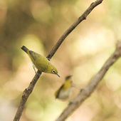 Cute Oriental White Eye birds — Foto de Stock