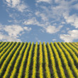 Beautiful rows of grapes winery — Stock Photo #36465227