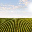 Beautiful rows of grapes winery  — Stock Photo