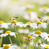 Daisy Flowers with Butterfly — ストック写真