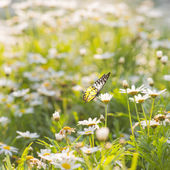雏菊花与蝴蝶 — 图库照片