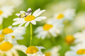 Daisy Flowers with Butterfly — Stock Photo