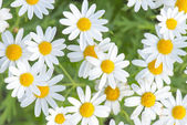 Daisy field — Stock Photo