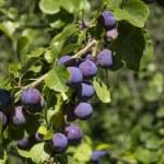 prunes sur un arbre — Photo