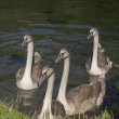 Young swans — Stock Photo #31039673