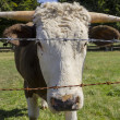 Cow with horns — Stock Photo