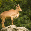 Adult Barbary Sheep on a rock — Foto Stock
