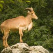Adult Barbary Sheep on a rock — Stock Photo