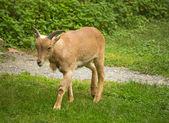 Young Barbary Sheep — Stock Photo