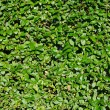 Full frame hedge background — Stock Photo #38062925