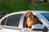 Dogs Head out of a Window — Stock Photo