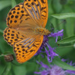 Beautiful large butterfly Argynnis on a flower  — Stock Photo