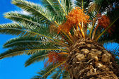 Palm tree with fruits on a background of azure sky — Stock Photo
