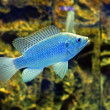Blue fish in the aquarium (Cyrtocara moorii) — Stock Photo