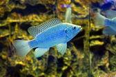 Blue fish in the aquarium (Cyrtocara moorii) — Stock Photo