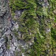 Stock Photo: Texture of birch trunk with moss