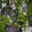 Texture of birch trunk with moss — Stock Photo