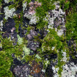 Texture of birch trunk with moss — Stock Photo #35945549