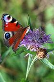 Peacock butterfly on a flower meadow cornflower — Stock Photo