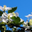 Branch blossoming apple-tree against the blue sky — Stock Photo #46823729