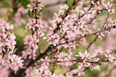 Blossoming Almond Branch — Stock Photo