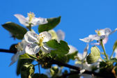 Branch blossoming apple-tree against the blue sky — Stock Photo