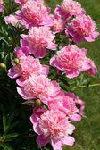Flowering shrub pink peonies — Zdjęcie stockowe
