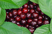 Cherries framed by leaves as background — Stock Photo