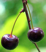 Two ripe cherries on the twig in the garden very close up — Stock Photo
