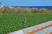 Field with courgettes in Cyprus — Foto Stock