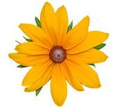 Big yellow flower Rudbeckia closeup isolated on white   — Stock Photo