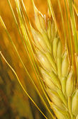 Ear of rye on the field in the rays of the sun closeup — Stock Photo