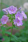 Phlox flowers in the garden — Stock Photo