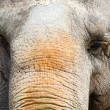 Closeup of an elephant — Foto de Stock