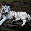 White tiger closeup — Stock Photo