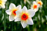 The daffodil blooming in spring — Stock Photo