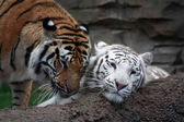 Two tigers are playing — Stock Photo
