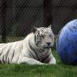 A white tiger — Stock Photo #29385345