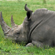A rhino — Stock Photo