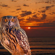 An owl at an early morning — Stock Photo