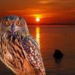 An owl at an early morning — Stock Photo #29389361