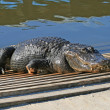 Alligator in a park — Stock Photo