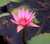 A lone lily a botanical garden — Stock Photo