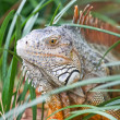 A wild iguana wandered around in a garden — Stock Photo