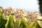 Robusta coffee flowers. — Stock Photo